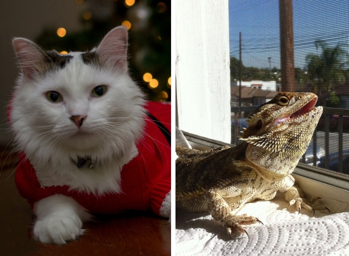 Cat and bearded dragon